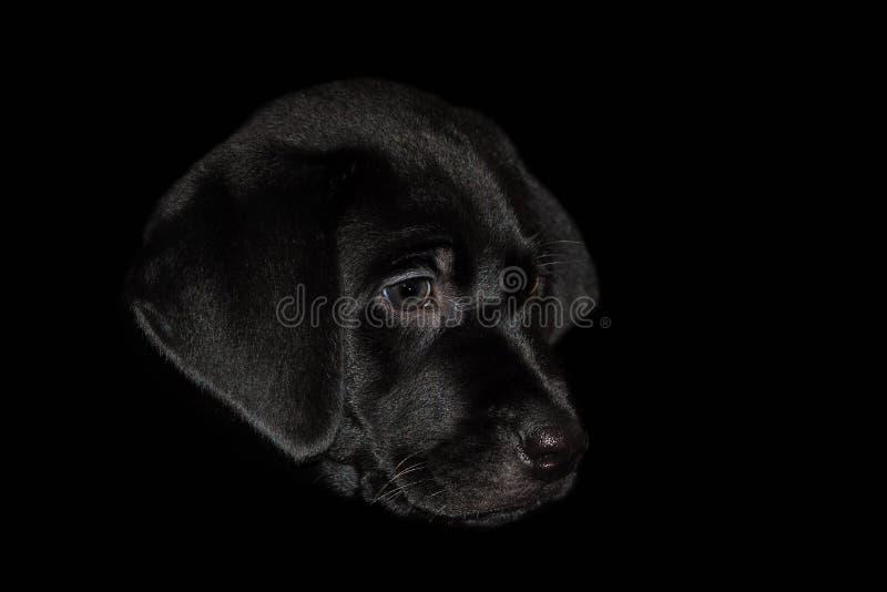 Ett keligt labradorvalphuvud som isoleras på en svart bakgrund arkivfoton