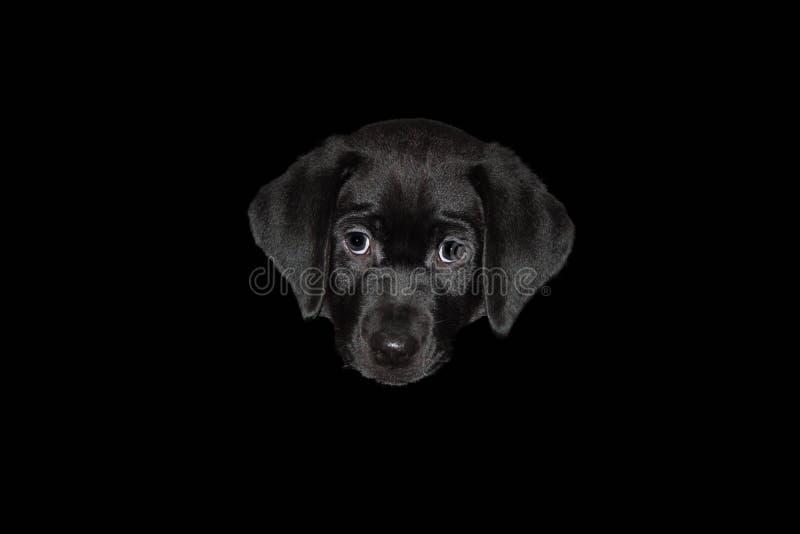 Ett keligt labradorvalphuvud som isoleras på en svart bakgrund royaltyfri foto