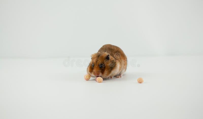 Ett klassiskt husdjur för guld- hamster arkivbilder