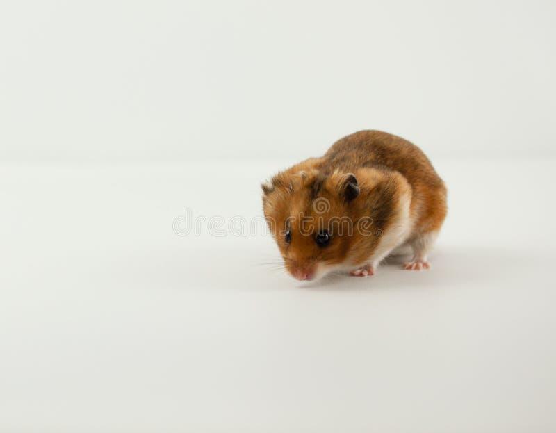 Ett klassiskt husdjur för guld- hamster royaltyfri foto
