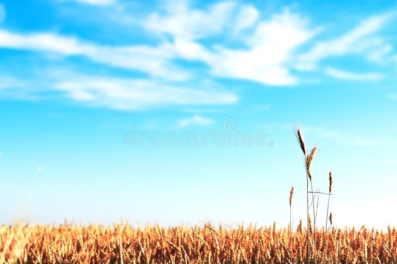 Ett kornfält som är längst ner av bilden royaltyfria foton