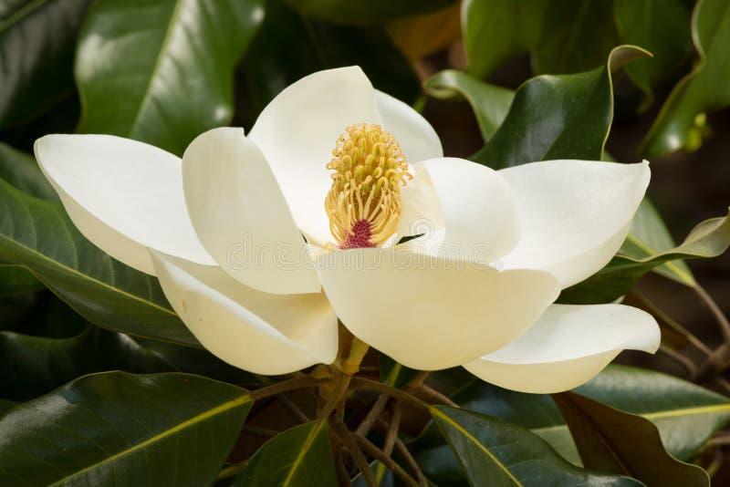 Ett krämigt - vit blomning för sydlig magnolia royaltyfria bilder