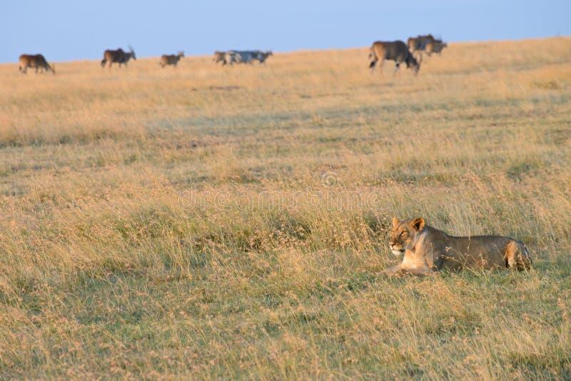 Ett krypa lejon royaltyfri fotografi
