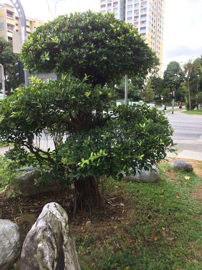 Ett kusligt men härligt träd i Singapore royaltyfria foton