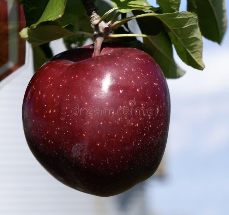 Ett läckert äpple royaltyfria bilder