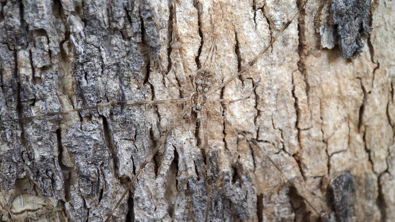 Ett lång benträ eller trädspindel som matchas och blandas med trädfärg arkivfoto