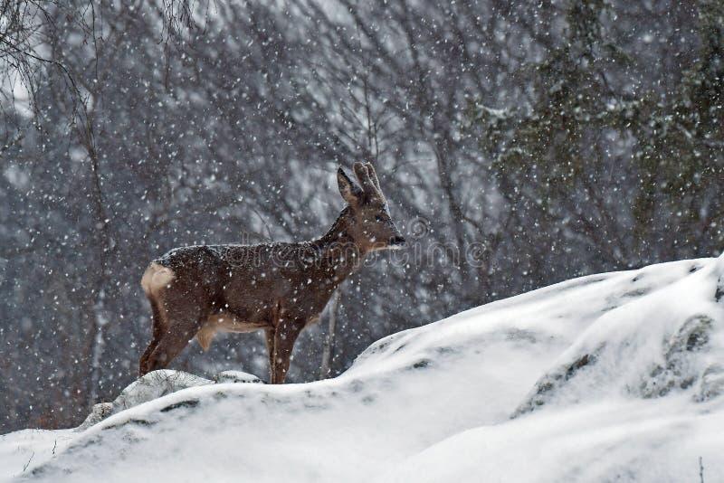 Ett löst rådjur, Capreoluscapreolusman i en snöstorm i vintrigt landskap royaltyfria bilder