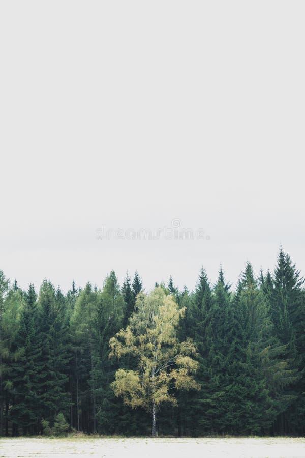 Ett lövfällande träd som omges av barrträds- trän i tjeckiskt område Brdy royaltyfri fotografi