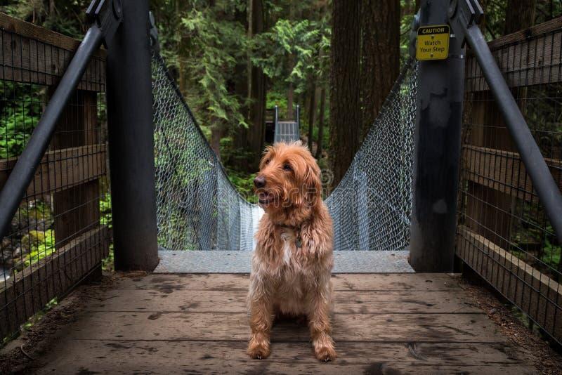 Ett Labradoodle sammanträde på ingången till en upphängningbro i en skog royaltyfri bild