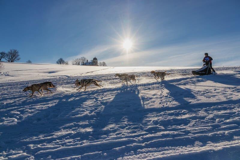 Ett lag av fyra skrovliga slädehundkapplöpning som kör på en snöig vildmarkväg royaltyfri bild