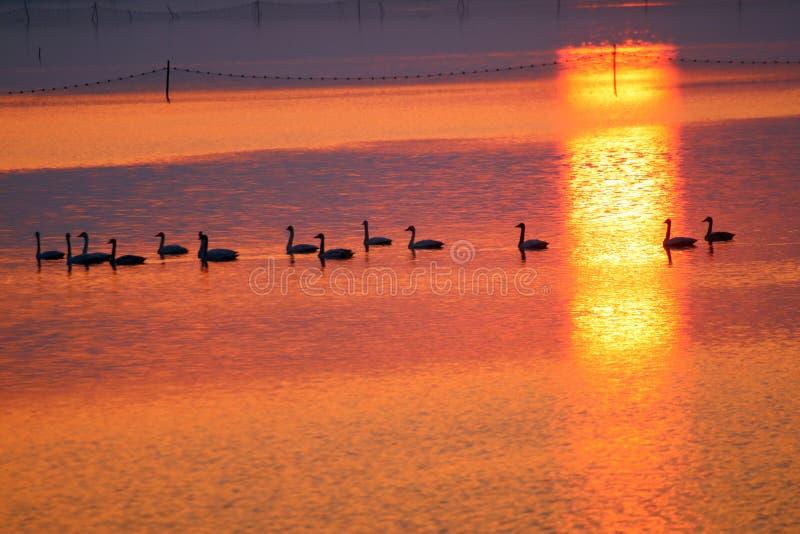 Ett lag av svanar i solnedgången royaltyfri bild