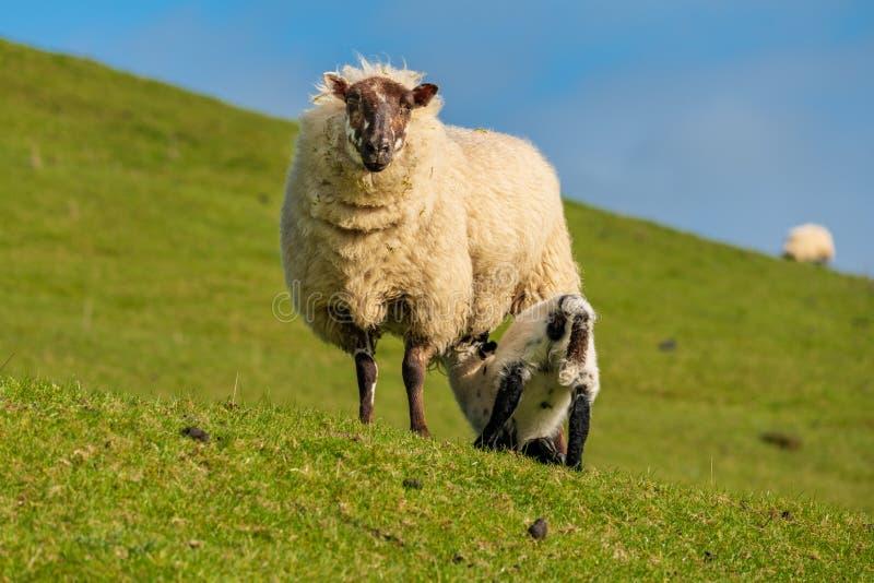 Ett lamm och ett får royaltyfri fotografi