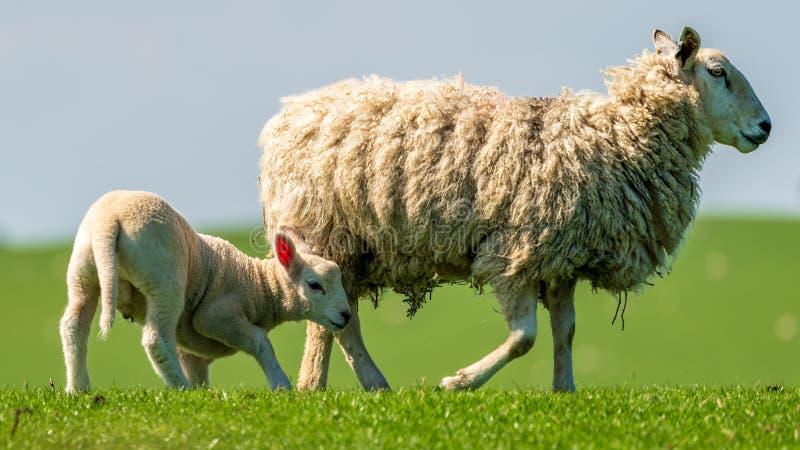 Ett lamm och ett får fotografering för bildbyråer