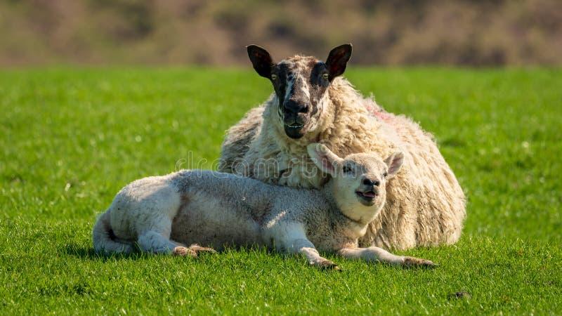 Ett lamm och ett får arkivbild