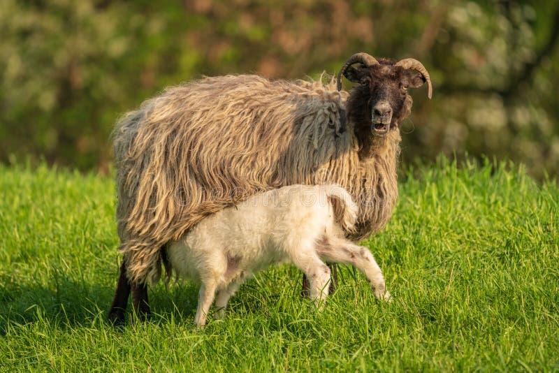 Ett lamm och ett får arkivfoton