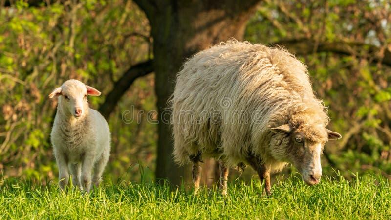 Ett lamm och ett får royaltyfria bilder