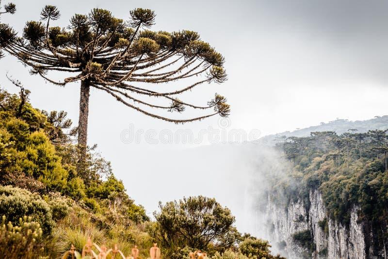 Ett landskap av ett araucariaträd som omges av morgondimman D arkivfoto