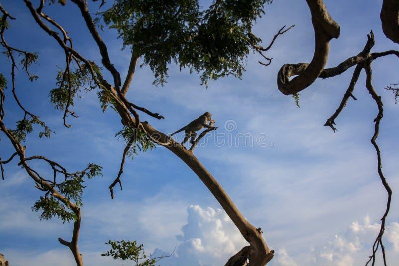 Ett landskap av spolande träd och en apa som förbereder sig att hoppa royaltyfria bilder