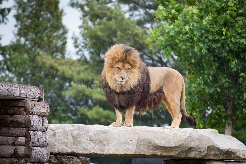 Ett lejon i hålan fotografering för bildbyråer