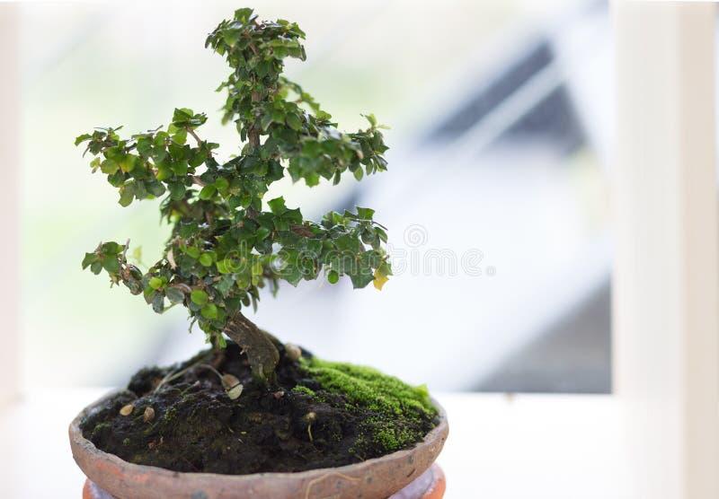 Ett litet bonsaiträd som boughing filialer och broschyr i en pott royaltyfria foton