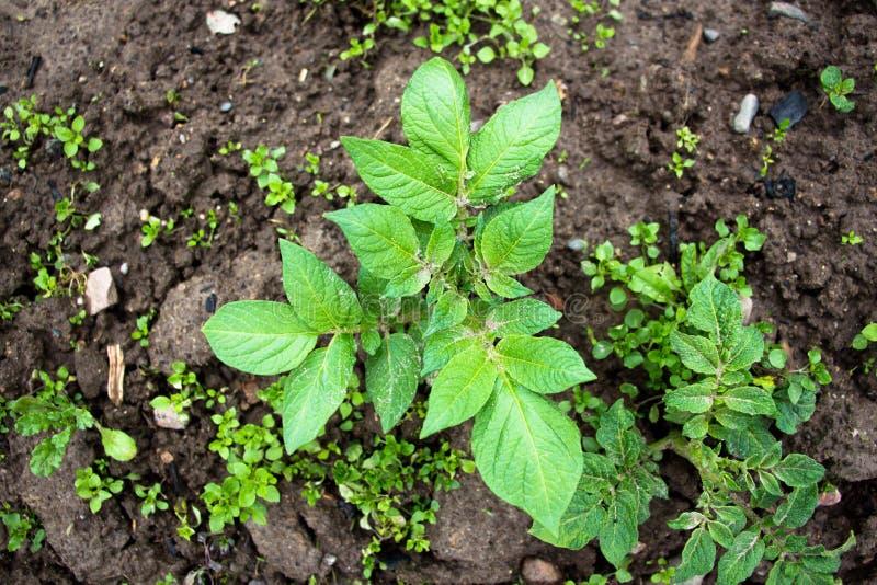 Ett litet och precis att starta att växa en buske av hemlagade potatisar Bönder tar omsorg av dem att skörda en bra skörd i count royaltyfri fotografi