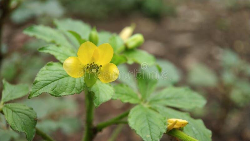 Ett litet okänt ljust - gul blomma I att se i skogen, extremt makroskott royaltyfria bilder
