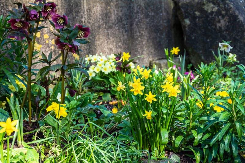 Ett litet skuggigt hörn med vårblommor inklusive påskliljor och hellebores royaltyfria foton