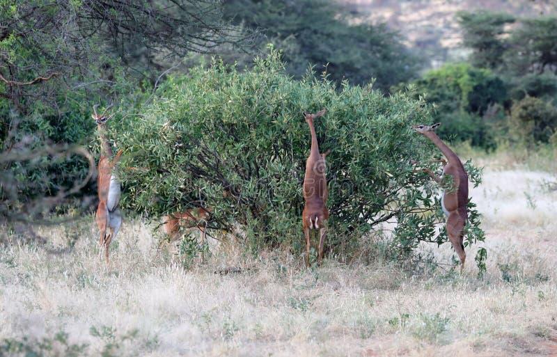 Ett litet som hörs av gerenuk i masaien mara royaltyfria foton