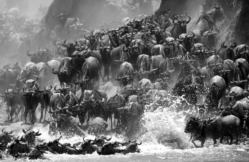 Ett lopp av gnu som vandrar över Mara River arkivfoton