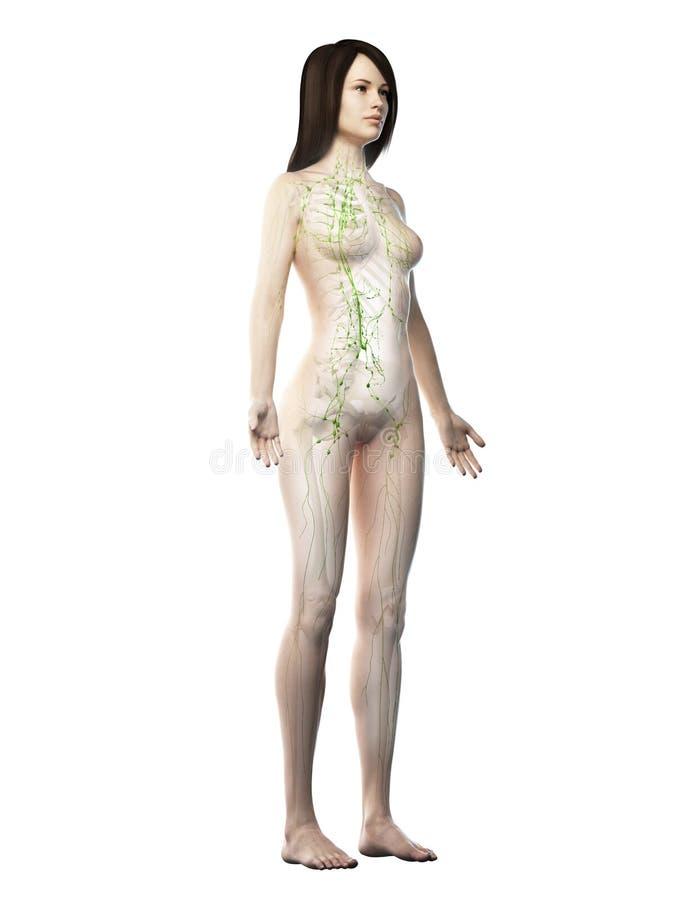 ett lymfatiskt system för kvinnlig vektor illustrationer