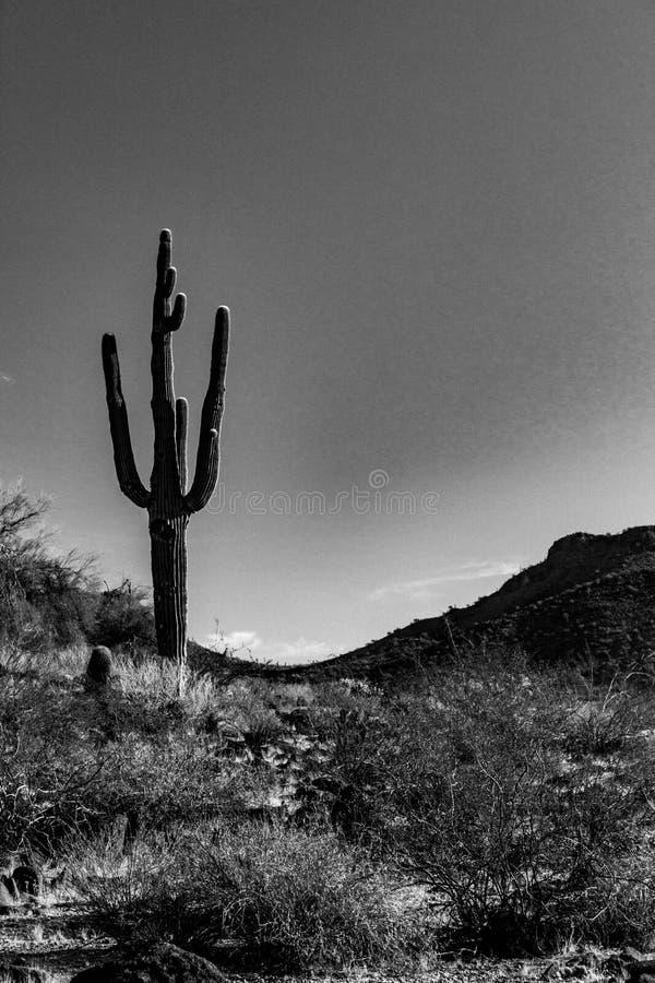 Ett lynnigt svartvitt foto av en ensam Saguarokaktus i en dal mellan två kullar arkivbild