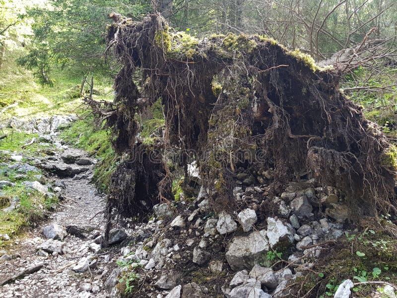 Ett mäktigt ryckt upp träd royaltyfria bilder