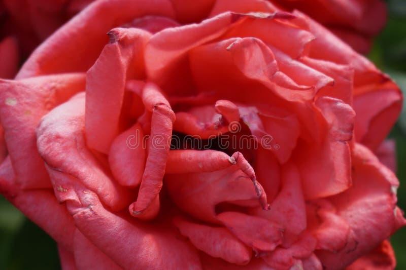 Ett makroskott av en rosa härlig ros fotografering för bildbyråer