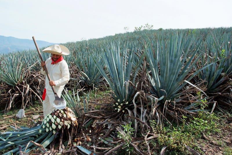 Ett manarbete i tequilabransch royaltyfri foto