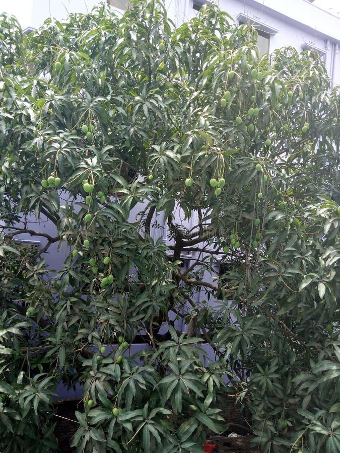 Ett mangoträd royaltyfria bilder