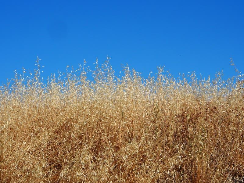 Ett moget fält av korn mot blå himmel royaltyfria bilder