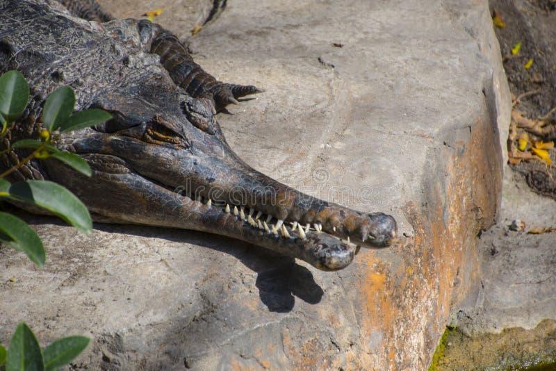 Ett närbildfoto av en saltvattens- krokodilCrocodylusporosus, också som är bekant som den estuarine krokodilen, Indo-Stillahavs-  arkivfoto