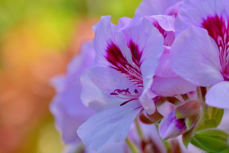 Ett närbildfoto av härliga rosa blommor på soligt som är färgrikt, slappt defocused bakgrund arkivfoto
