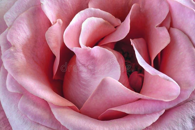 Ett närbildfoto, en blommande rosa färgros fotografering för bildbyråer