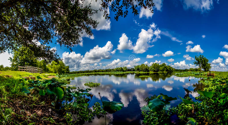 Ett panorama- brett vinkelskott av en härlig sjö med sommarguling Lotus Lilies, blåa himlar, vitmoln och grön lövverk arkivbild