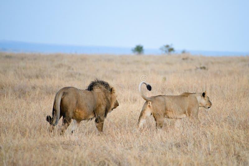 Ett par av Afrika lejon royaltyfri fotografi