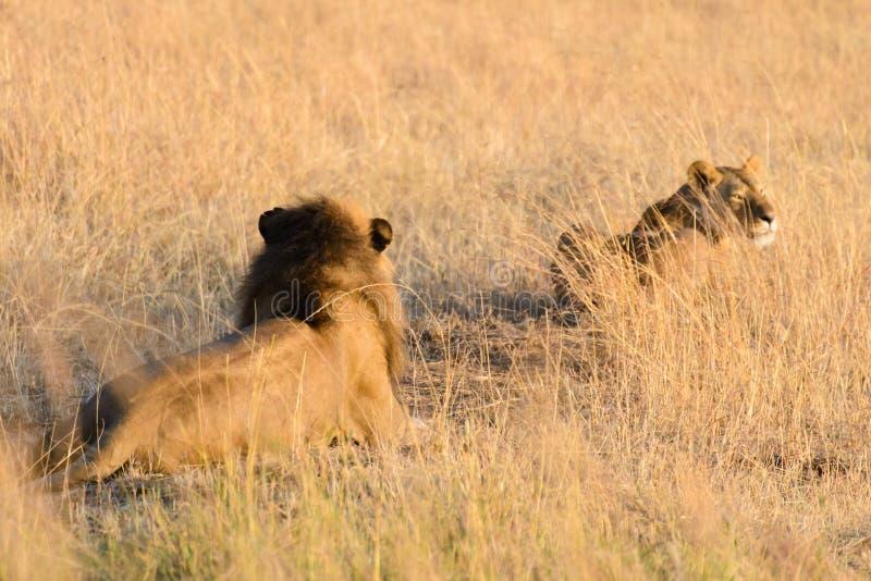 Ett par av Afrika lejon arkivbilder