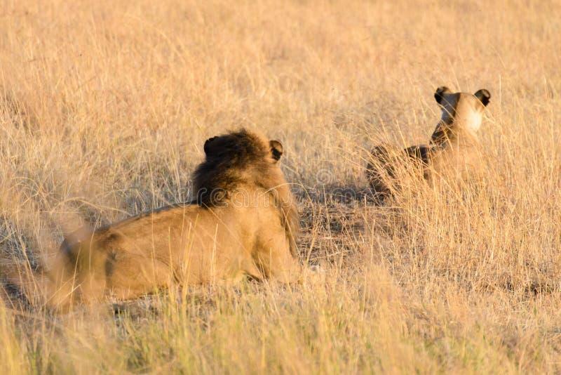 Ett par av Afrika lejon royaltyfri foto