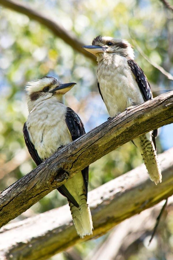 Ett par av att skratta skrattfågelanseende på fatta I Austral royaltyfria bilder
