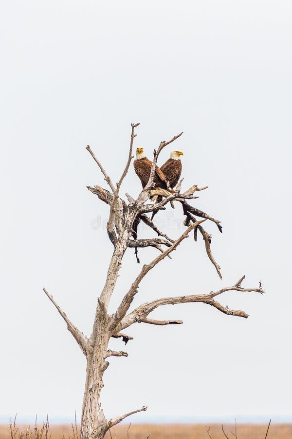 Ett par av Bald Eagles som sitter på det döda trädet Nationell djurlivfristad f?r Blackwater maryland USA royaltyfri bild