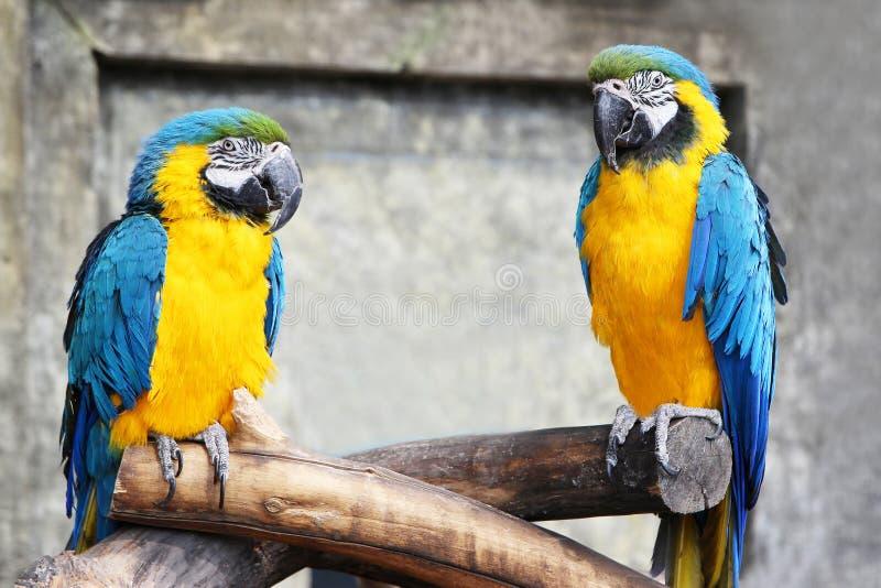 Ett par av blått-guling mekaniskt säga efter (munkhättor, aror) sammanträde på en baranch i djungel royaltyfria foton