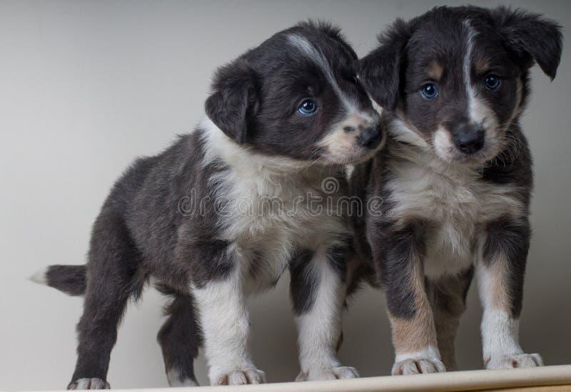 Ett par av border collie hundkapplöpning med blåa ögon, förtjusande sheepdgosbröder tillsammans arkivbild