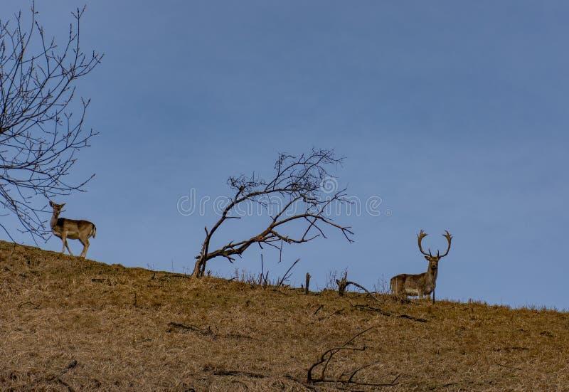 Ett par av deers på en kulle och ett ensamt brun grönt fält för träd och fotografering för bildbyråer