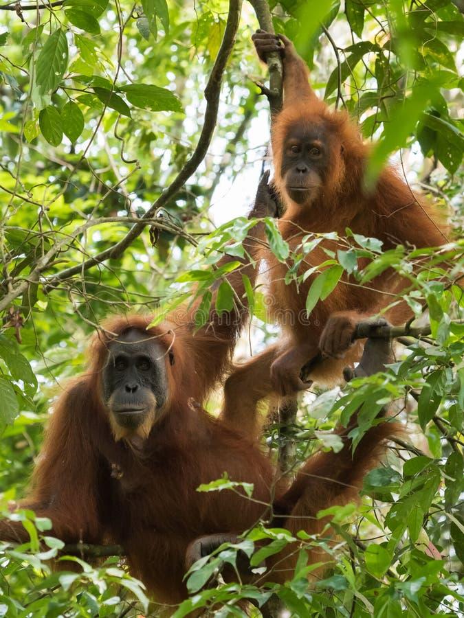 Ett par av den brunögda vuxna orangutanget som hänger på filialerna Bo arkivfoto