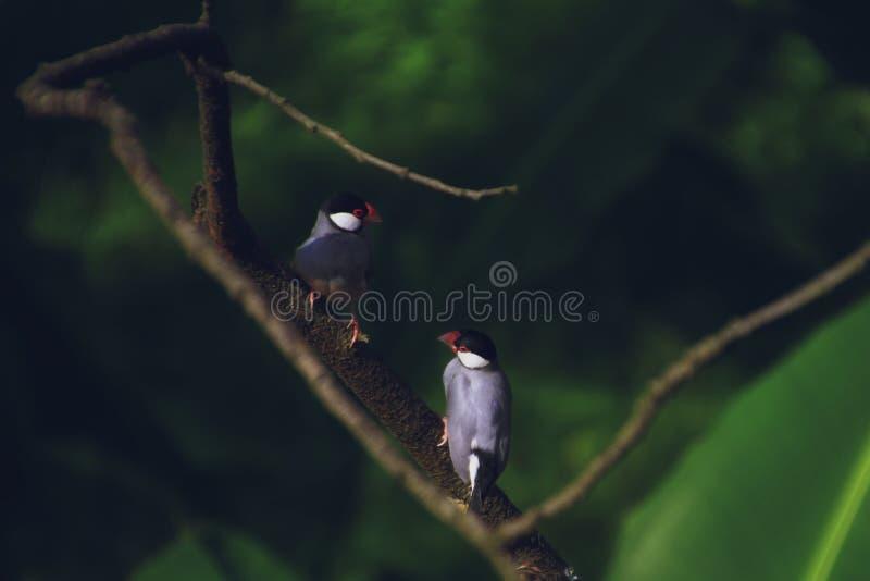 Ett par av den Gelatik fågeln arkivfoto